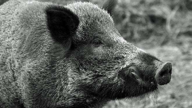 Peste porcine: encore 3 nouveaux cas officiellement identifiés dans la zone de confinement