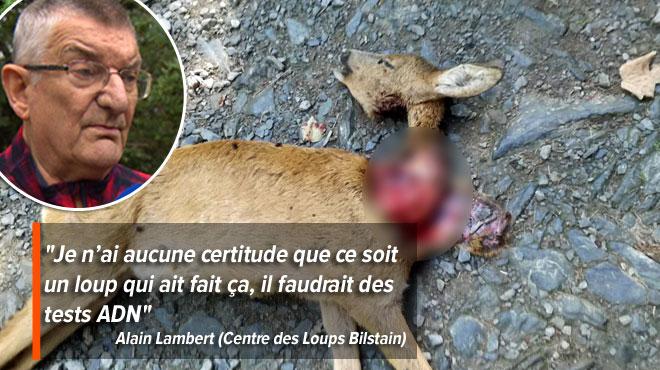 Le loup belge a-t-il fait ses premières victimes? Voici la macabre découverte d'un promeneur au pied des Hautes Fagnes