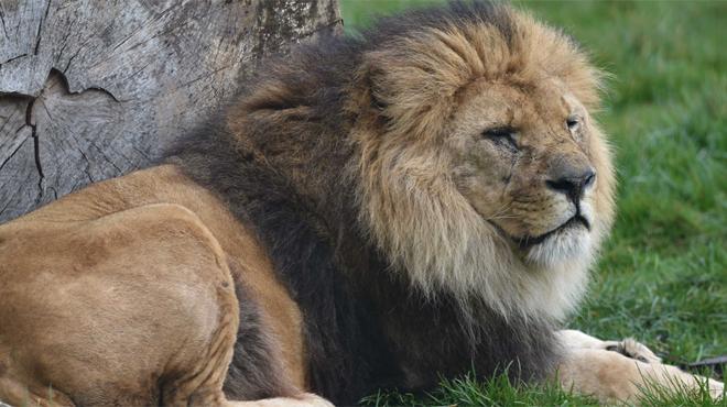 Le parc Bellewaerde en deuil: le lion Figaro,