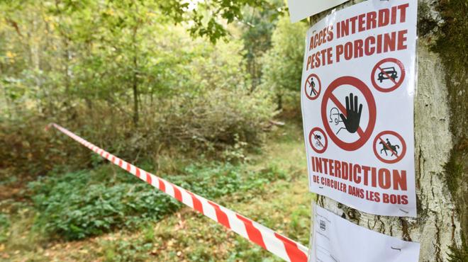 Peste porcine: cinq nouveaux cas recensés en province du Luxembourg