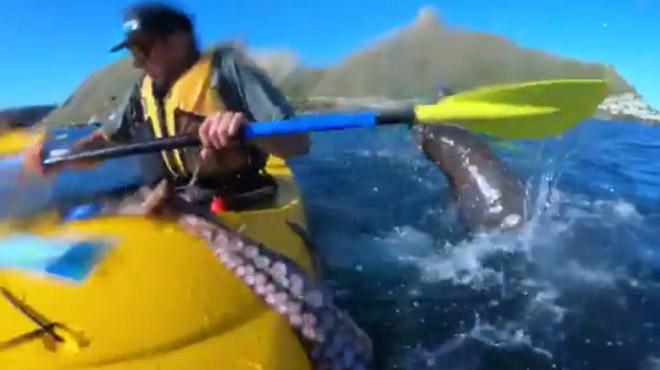 Insolite: une otarie gifle un kayakiste... avec un poulpe (vidéo)