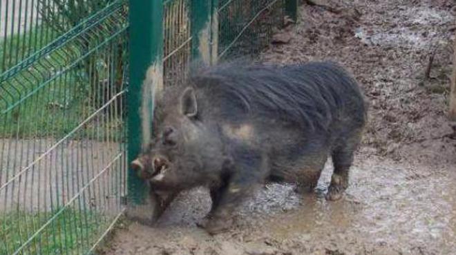 Hector, un cochon de la commune d'Athus condamné à mort, a été kidnappé