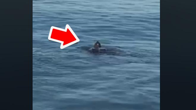 Des images RARES: une immense tortue filmée à la Côte belge (vidéo)