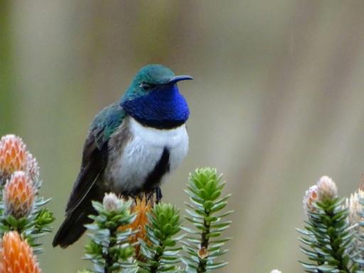 Equateur: découverte d'une nouvelle espèce de colibri