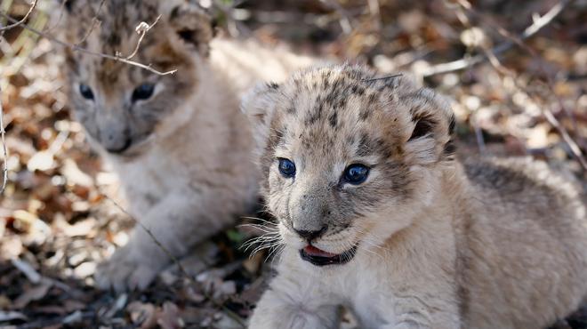 Un tournant scientifique: les premiers lions-éprouvette sont nés en Afrique du Sud (photos)