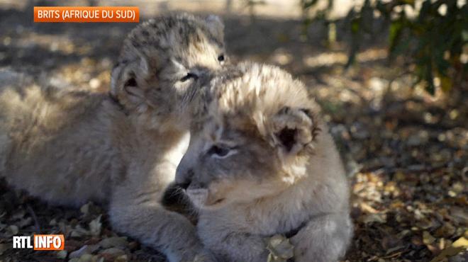 Les premiers lionceaux-éprouvette au monde sont nés en Afrique du Sud: