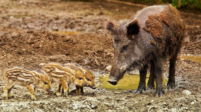 Peste porcine africaine: le nombre de sangliers infectés par la peste porcine africaine grimpe