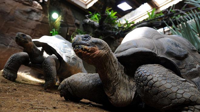 Mystérieux vol de 123 tortues aux îles Galapagos