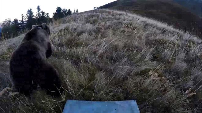 Deux ourses relâchées dans les Pyrénées attendent des petits