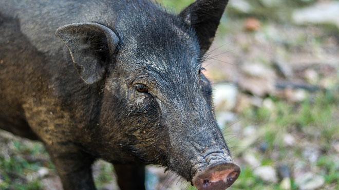 La peste porcine a-t-elle été importée par des militaires? Des carcasses de sangliers infectés retrouvées dans le camp de Lagland