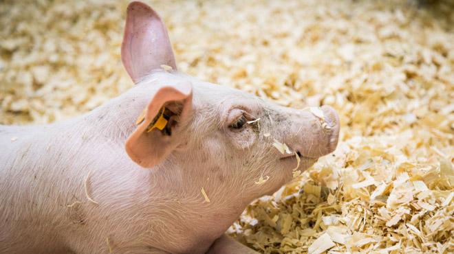 Bonne nouvelle pour la Belgique: la Malaisie lève son embargo sur le porc belge surgelé