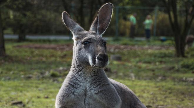 Attaque rare en Australie: un kangourou blesse trois personnes avant d'être chassé à coups de pelle