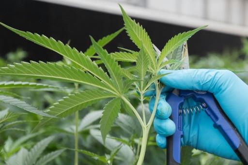 Cannabis: une association de médecins canadiens dénonce une légalisation