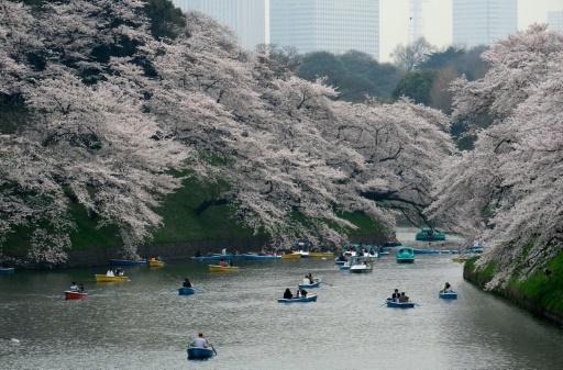 Japon: des cerisiers fleurissent, pourtant ce n'est pas le printemps