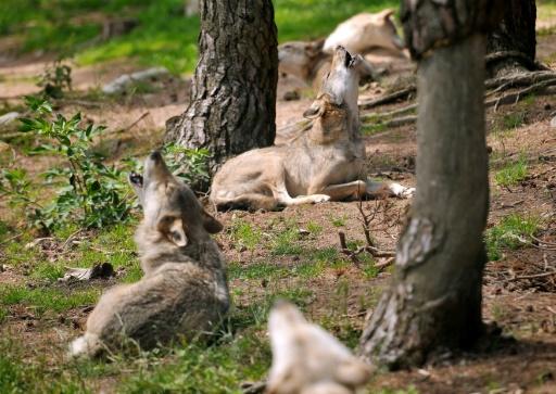 Loup: le quota d'autorisation d'abattage relevé à 51 bêtes