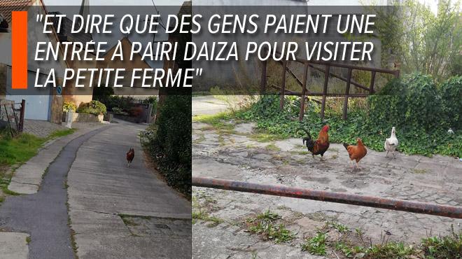Marc exaspéré par les poules en liberté dans une rue de Lessines: quels sont vos devoirs si vous possédez ce type d'animal?