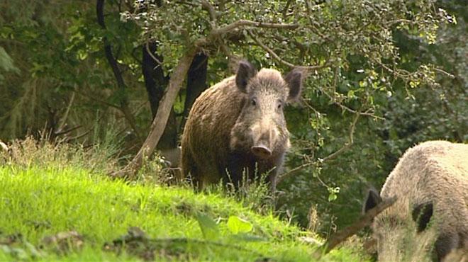 Deux collaborateurs d'une association victimes de menaces de mort: à cause de leur position sur la peste porcine?