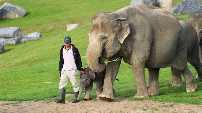 Ta Wan, le jeune éléphant de Pairi Daiza, sera bientôt rendu à la vie sauvage