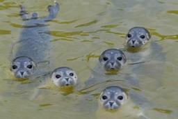 Une étude de la VUB révèle que les bébés phoques communiquent... comme nous