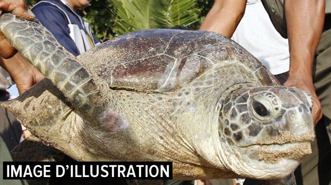 Tsunami en Indonésie: des tortues menacées d'extinction remises à la mer
