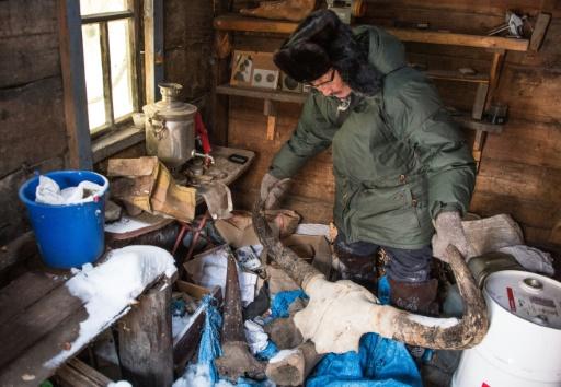 Mammouths en Sibérie: la ruée vers