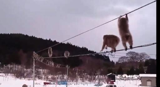 Une file indienne de singes sur un câble électrique enflamme Twitter
