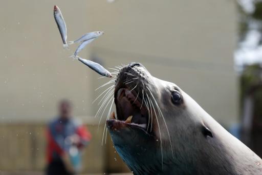 Oregon: des otaries trop gourmandes euthanasiées pour sauver une truite menacée