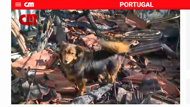 Portugal: ce chien refuse d'abandonner la maison où son maître paraplégique a été tué par un incendie