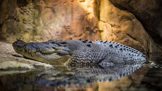 Une femme dévorée par un crocodile en Indonésie