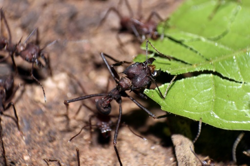 Chez les fourmis bâtisseuses de sentiers, chacun fait ce qu'il lui plaît