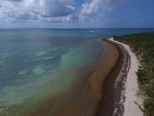 En Guadeloupe, les sargasses reviennent, la lutte s'organise