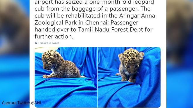 Un bébé léopard retrouvé dans un bagage à main en Inde (vidéo)