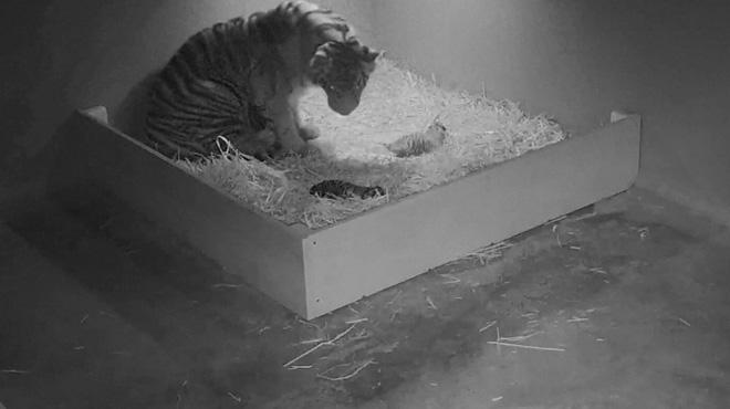 Naissance exceptionnelle dans un zoo australien: une tigresse de Sumatra donne vie à trois petits