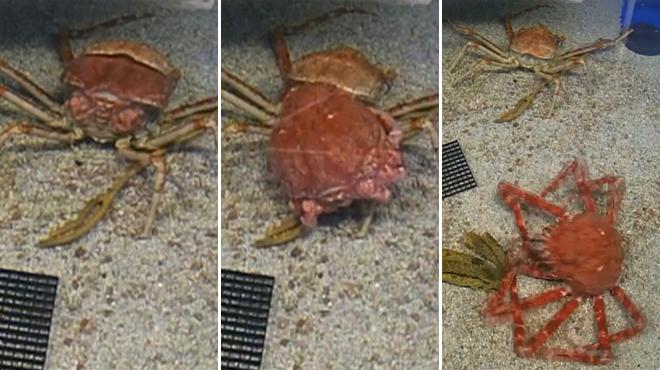 Impressionnant: la mutation d'un crabe-araignée en