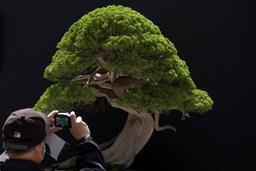SOS d'un jardinier japonais après un vol de bonsaïs