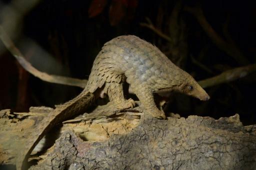 Le zoo de Chester diffuse de rares images de pangolins géants