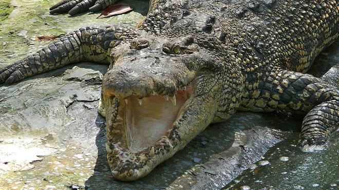 Un crocodile tue un homme sous les yeux de son neveu en Malaisie