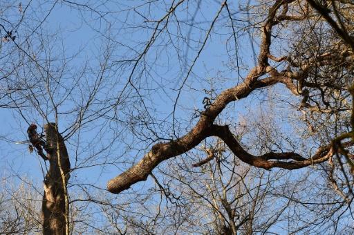 Un chêne tricentenaire abattu pour faire mûrir des vins d'exception