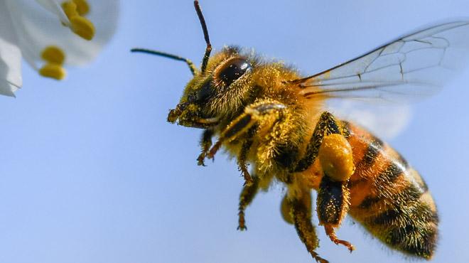 L'Allemagne va légiférer pour protéger les insectes: l'interdiction du glyphosate parmi les mesures envisagées