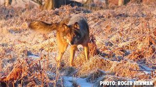 Nouvelles photos du loup des Hautes-Fagnes 4