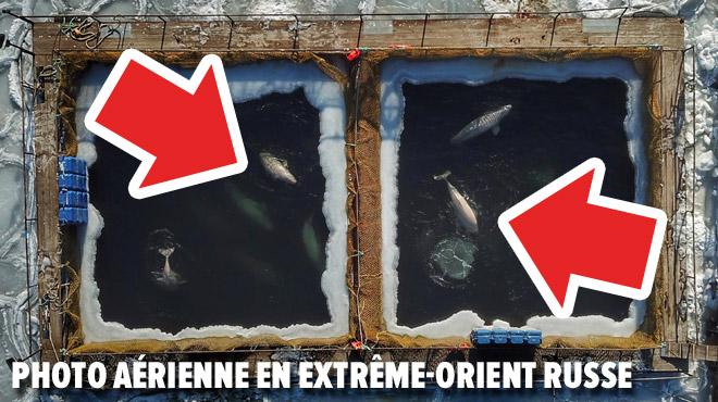 Parce qu'ils valent des millions de dollars: des dizaines d'orques capturés en Russie pour finir dans les parcs en Chine