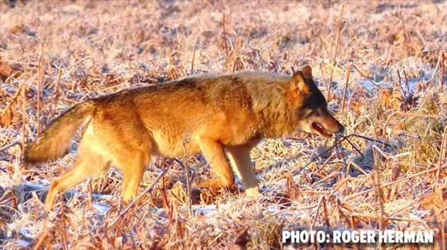 Le loup rôde toujours dans les Hautes Fagnes