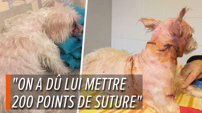 Son papa et son chien Mignonette attaqués en pleine rue par deux American Staff à Huy- Je me demande comment elle est toujours en vie