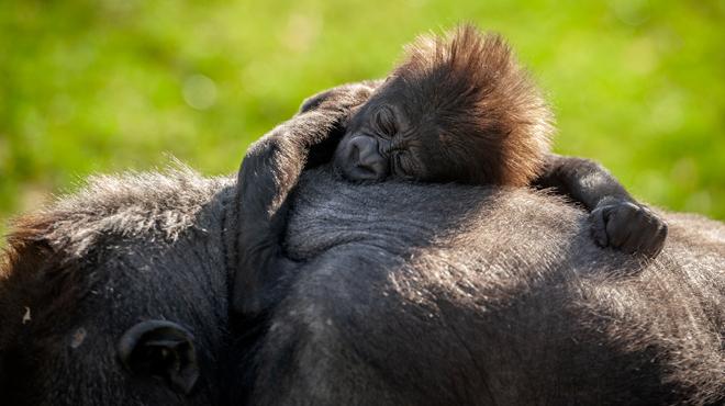 Le bébé gorille Thandie sort en plein air pour la première fois au zoo d'Anvers: des images craquantes