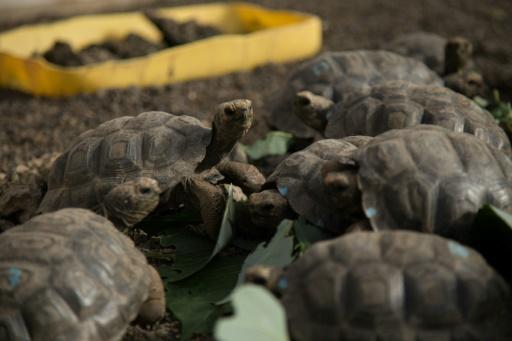Equateur: 155 tortues géantes repeuplent une île des Galapagos