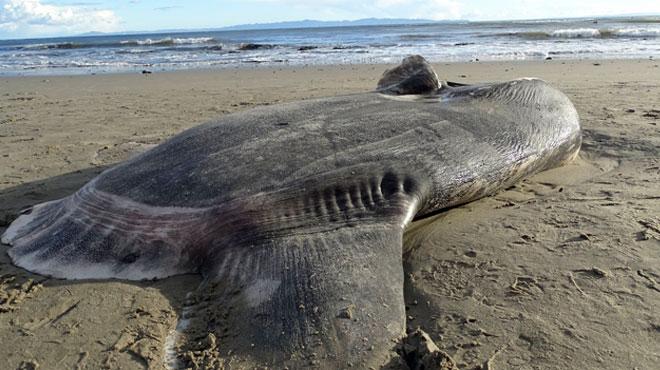 Un étrange poisson JAMAIS VU aux Etats-Unis s'échoue sur une plage: