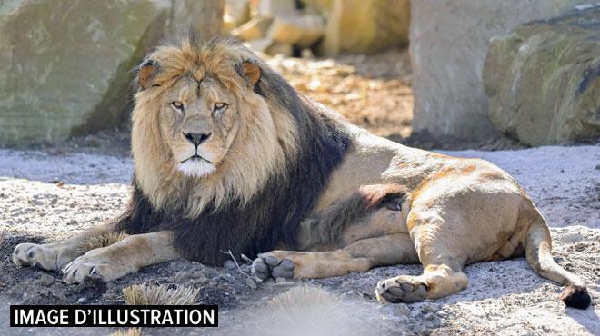 Un homme tué par un lion qu'il élevait sans autorisation en République tchèque: