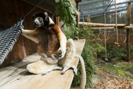 Un lémurien rarissime voit le jour au zoo de Mulhouse