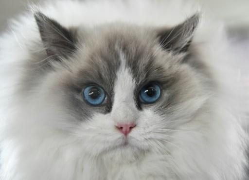 Les chats toujours plus nombreux dans les foyers français et