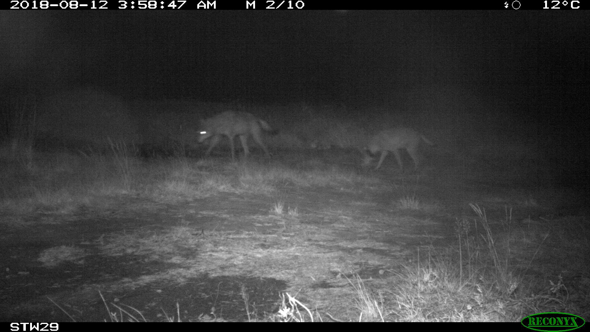 Les loups Naya et August responsables de la mort de quatre moutons dans le Limbourg